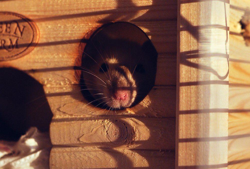 Bekæmp aktivt rotter i Hadsten