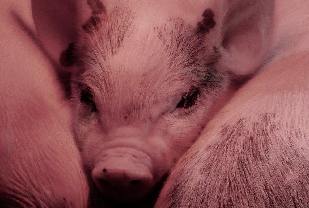 Dyr har det faktisk fint nok under en dyretransport